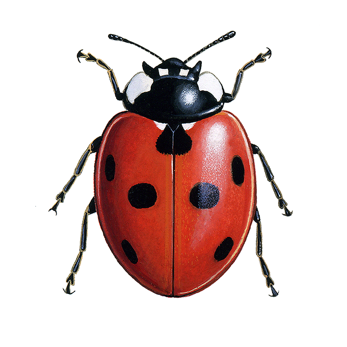 Ladybird Insect Information >> iRecord Ladybirds – Natural Apptitude