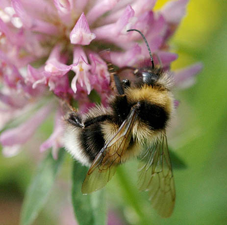 App ID Guide image showing bumblebee feeding on clover flower