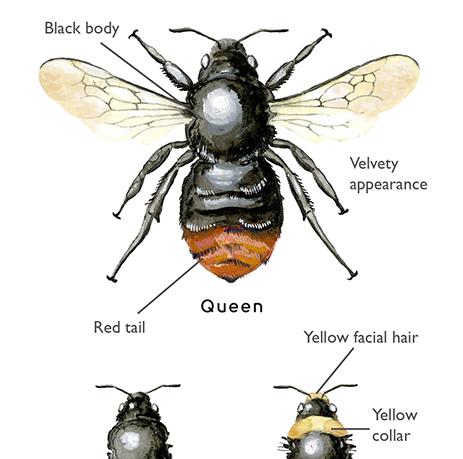Detail of illustrations within the app ID guide to bumblebees of the UK