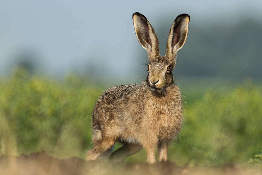 Brown Hare - Ian Hull