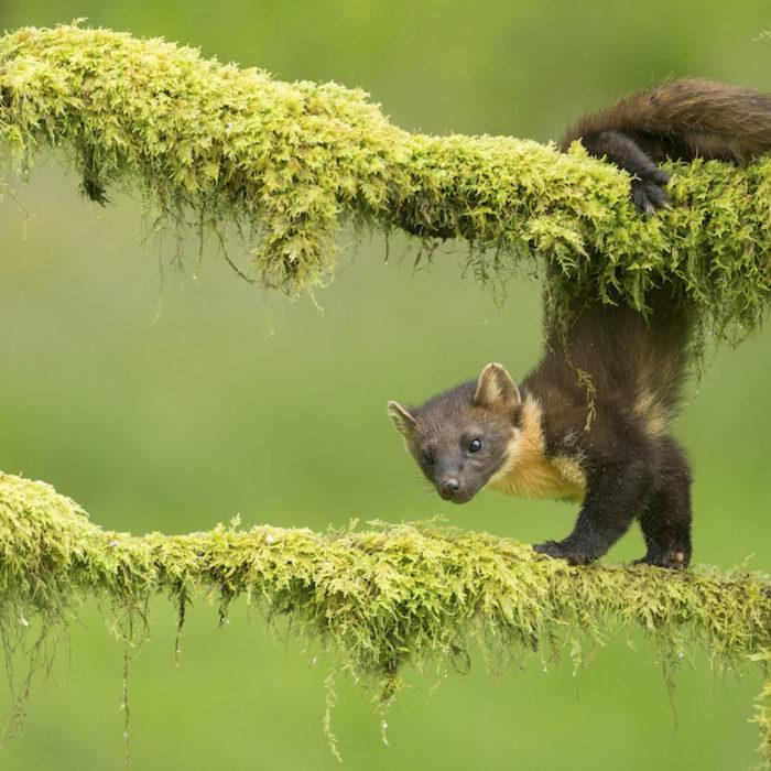 Pine Marten - Natural Apptitude