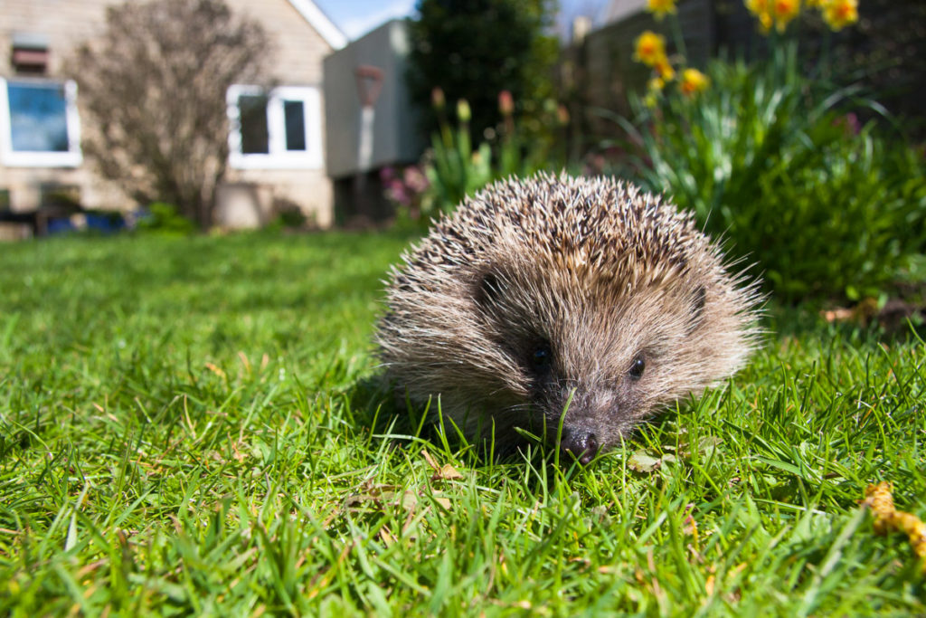 Hedgehog - Natural Apptitude